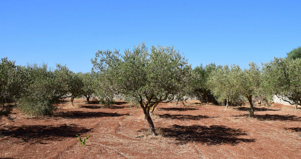 Plantation of olive trees in Sicily
